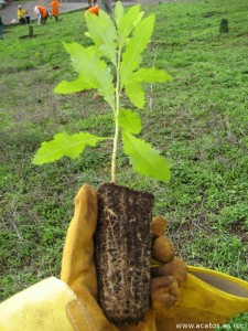 retono-simiente-arbol-plantar-especie-225x300